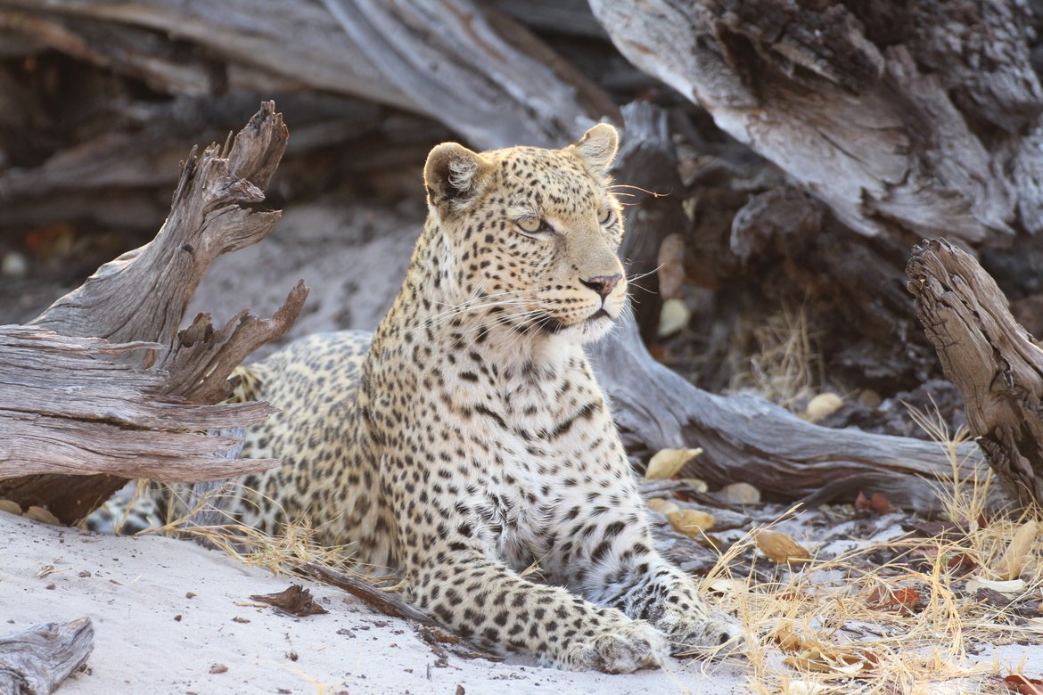 leopard, leopard photos, leopard images, botswana wildlife, botswana wildlife photos, botswana safari, botswana safari photos, african safari photos, african cats, leopards in africa, leopards in botswana, Linyanti Reserve, Linyanti wildlife