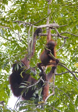 orangutan, orangutan photos, Malaysia wildlife, Malaysia orangutan, Malaysia wildlife photos, Danum Valley, orangutans in Malaysia, Danum Valley wildlife, Borneo, orangutans in Boreno, Borneo wildlife