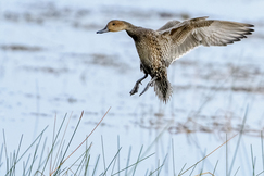 northern pintail, northern pintail photos, northern pin tail ducks, ducks in Florida, birds in Florida, Florida birding, US birding