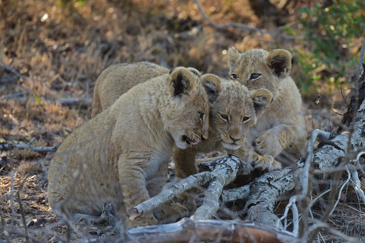 lion, lion photos, lion cub, lion cub photos, South Africa wildlife, south africa wildlife photos, africa wildlife, africa wildlife photos, lions in south africa, photos of lions in south africa, south africa safari, south africa safari photos