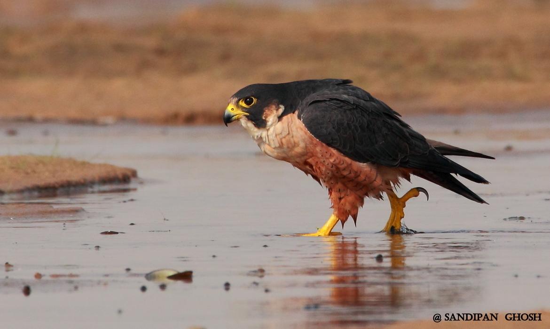 shaheen falcon, shaheen falcon photos, birds in India, birding in India, India wildlife,