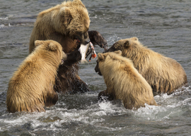 brown bear, grizzly bear, brown bear photos, grizzly bear images, grizzly cub, brown bear cub, grizzly fishing, Katmai National Park, Katmai National Park wildlife, united states wildlife photos, Alaska wildlife, Alaska bears, Alaska photos, Brooks Falls