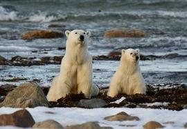 polar bear, polar bear in churchill, polar bear cub, polar bear in canada, canada wildlife, canada polar bears, canada wildlife images, polar bear images, canada wildlife photos, polar bear photos, churchill wildlife, churchill wildlife photos, Hudson Bay