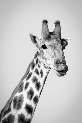 giraffe, giraffe photos, giraffe images, south africa wildlife, south africa wildlife photos, african safari photos, giraffes in south africa, Mapungubwe National Park, Mapungubwe National Park wildlife photos, Mapungubwe National Park wildlife