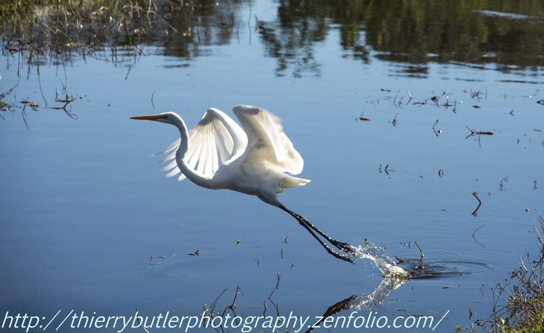 white heron, white heron photos, white heron images, florida wildlife, florida wildlife images, florida wildlife photos, united states wildlife, florida birds