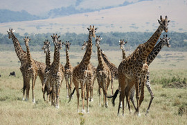 giraffe, giraffe photos, giraffe images, kenya wildlife, kenya wildlife photos, african safari photos, giraffes in kenya, Maasai Mara, Maasai Mara wildlife photos, Maasai Mara wildlife