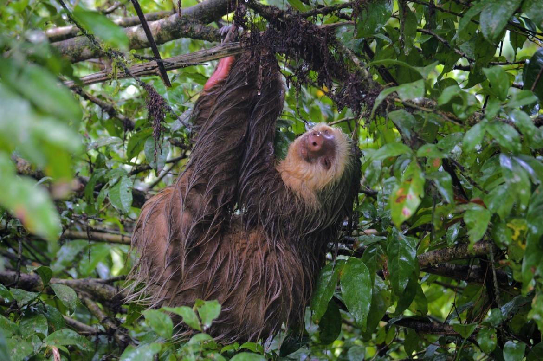 sloth, sloth photos, two-toed sloth, two-toed sloth photos, Hoffman's two-toed sloth, Hoffman's two-toed sloth photos, Costa Rica wildlife, sloths in Costa Rica, La Selva Biological Station; La Selva wildlife