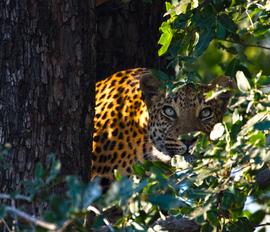 Grid leopardfem