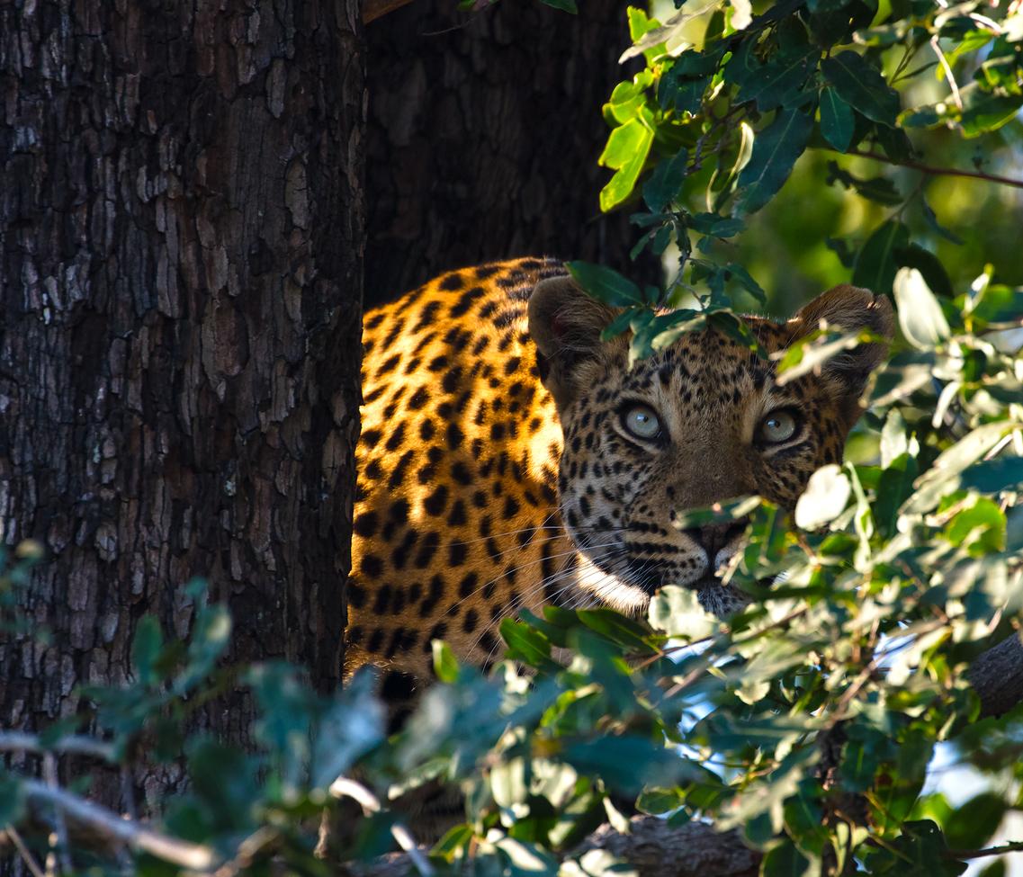 leopard, leopard photos, leopard images, botswana wildlife, botswana wildlife photos, botswana safari, botswana safari photos, african safari photos, african cats, leopards in africa, leopards in botswana