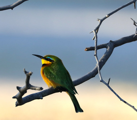 little bee-eater, little-bee eater photos, bee eaters in Africa, Bee eaters in Botswana, birding in Africa, birding in Botswana, Botswana wildlife, Botswana birds, African safari, Botswana safari