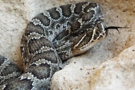 rattlesnake, rattlesnake photos, rattlesnake images, snake, snake photos, snake images, kansas wildlife, kansas wildlife photos, united states wildlife, united states wildlife photos, snakes in kansas, snakes in america