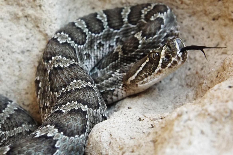 rattlesnake, rattlesnake photos, rattlesnake images, snake, snake photos, snake images, kansas wildlife, kansas wildlife photos, united states wildlife, united states wildlife photos, snakes in kansas, snakes in america