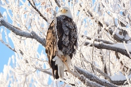 bald eagle, bald eagle photos, bald eagle images, united states wildlife, american wildlife photos, american birds, birds in the united states, bald eagles in america, America's national bird, national bird of united states, lower klamath basin wildlife