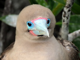 red-footed booby, red-footed booby photos, Galapagos Islands wildlife, Galapagos Islands birds, birding in the Galapagos, Genovesa Island, wildlife on Genovesa Island, birding on Genovesa Island