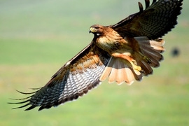 red tail hawk, red tail hawk photos, red tail hawk images, california wildlife, california birds, california wildlife photos, united states wildlife, unites states birds, united states wildlife photos, united states bird photos