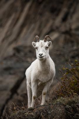 dall sheep, dall sheep photos, dall sheep pictures, Alaska, Alaska wildlife, Alaska wildlife photos, dall sheep in alaska, Anchorage wildlife, sheep in Anchorage,