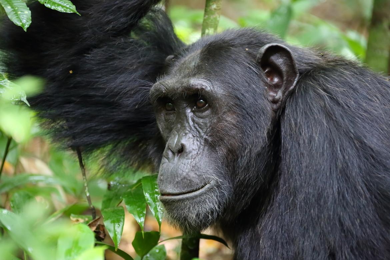 chimpanzee, chimpanzee photos, primates in Africa, chimpanzees in Africa, Uganda primates, Uganda chimpanzees, Kibale Forest, Kibale wildlife, Africa wildlife, Uganda wildlife