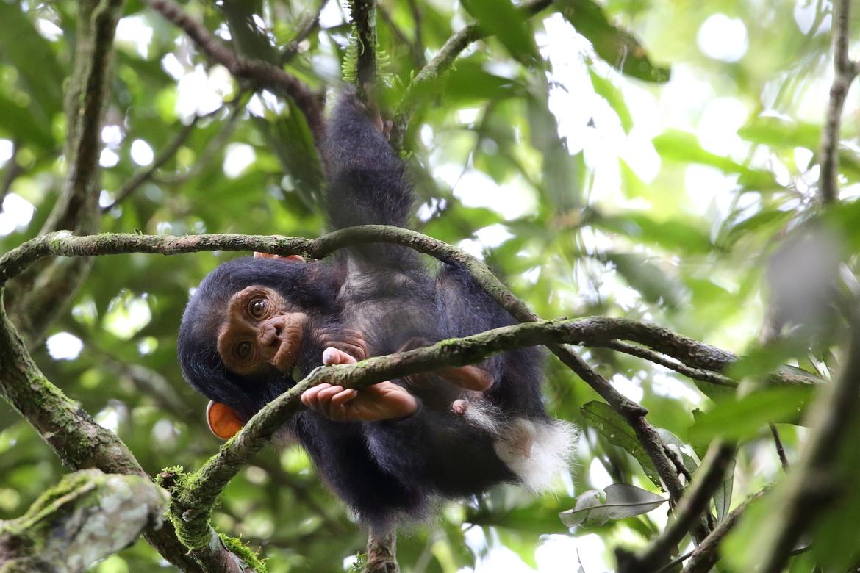 chimpanzee, chimpanzee photos, chimp photos, chimps in Uganda, chimpanzees in Uganda, wild chimpanzees, Kibale Forest, Uganda wildlife, primates in Africa, primates in Uganda, baby chimpanzees