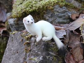 ermine, ermine photos, stoat, stoat photos, weasel photos, short-tailed weasel photos, Alaska wildlife, Chilkat Bald Eagle Preserve