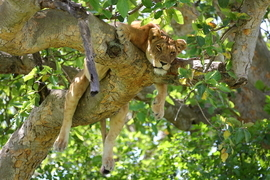 lion, lion photos, uganda wildlife, uganda wildlife photos, africa wildlife, africa wildlife photos, lions in uganda, uganda safari, uganda safari photos, africa safari, africa safari photo, Queen Elizabeth park, lions in trees,