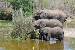 elephant, african elephant, elephant photos, african elephant photos, South Africa wildlife, South Africa wildlife photos, africa wildlife photos, africa wildlife, african safari photos, Kruger wildlife, Kruger wildlife photos, Kruger National Park