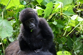 mountain gorilla, mountain gorilla photos, Bwindi Impenetrable National Park, Bwindi Impenetrable National Park wildlife, gorillas in Uganda, Uganda wildlife, baby mountain gorilla