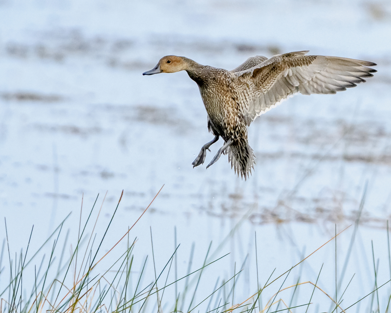 northern pintail duck, northern pintail duck photos, northern pintail, northern pintail photos, St. Marks National Wildlife Reserve, birding in the US, birding, ducks in the US