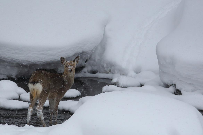 sika deer, sika deer photos, deer in Japan, Japan wildlife, Sounkyo, Hokkaido