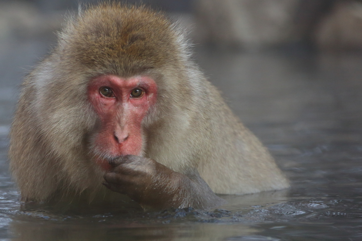 Japanese snow monkey, Japanese snow monkey photos, monkeys in Japan, Jigokudani Monkey Park, Jigokudani Monkey Park wildlife, Japan wildlife, wildlife in Japan