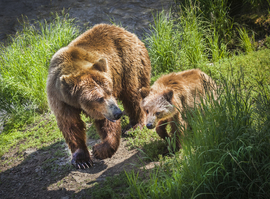 grizzly, grizzly bear, grizzly photos, brown bear, brown bear photos, bear cub, bear cub photos, grizzly cub, brown bear cub, Katmai National Park, Alaska wildlife, Alaska bears, Brooks Falls, Brooks Falls wildlife, Brooks Falls bears