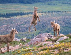 bighorn sheep, lambs, bighorn sheep photos, lamb photos, Mount Evans wildlife, Mount Evans wildlife photos, baby bighorn sheep, Colorado wildlife, Colorado wildlife photos