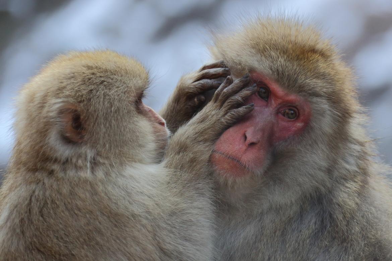 japanese snow monkey, japanese snow monkey photos, snow monkey, snow monkey photos, japan wildlife, monkeys in Japan, wildlife in Japan, primates in Japan, Jigokudani Monkey Park