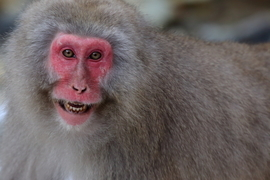 japanese snow monkey, japanese snow monkey photos, Japan wildlife, Japan primates, Jigokudani Monkey Park