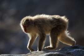 japanese snow monkey, japanese snow monkey photos, snow monkey, snow monkey photos, monkey photos, Japan wildlife, wildlife in Japan, Jigokudani Monkey Park