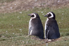penguins, magellanic penguin, magellanic penguin photos, penguin photos, penguin images, falkland islands wildlife, penguins in falkland islands