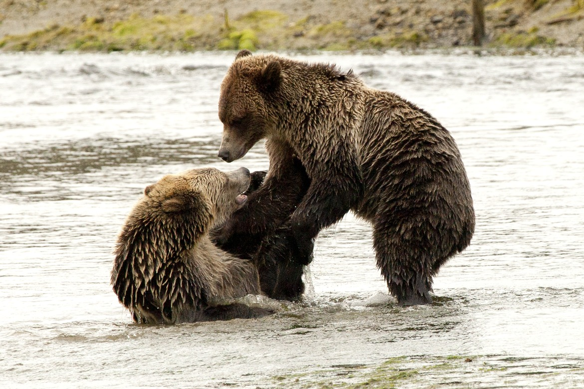 grizzly bear, brown bear, grizzly photos, brown bear photos, canada wildlife, canada bears, canada wildlife photos, canada bear photos, british columbia wildlife, british columbia wildlife photos