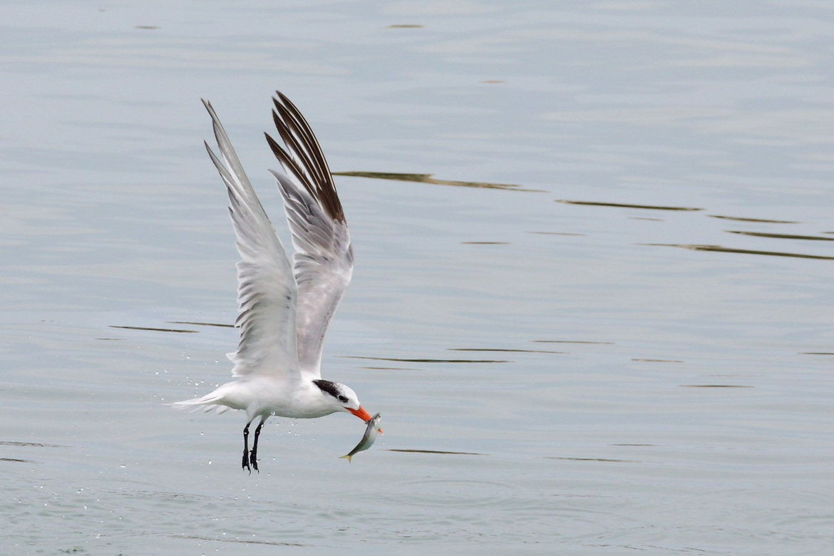 South American Tern, South American Tern photos, birding in South America, birding in Ecuador, Guayaquil, terns in Ecuador, terns in South America