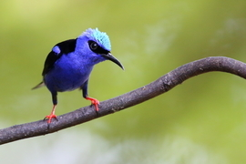 Grid 51gd red legged honeycreeper  2