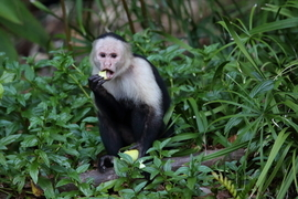 White-faced Capuchin Monkey, White-faced Capuchin Monkey photos, monkeys in Panama, Panama wildlife, Coiba National Park, Coiba National Park wildlife