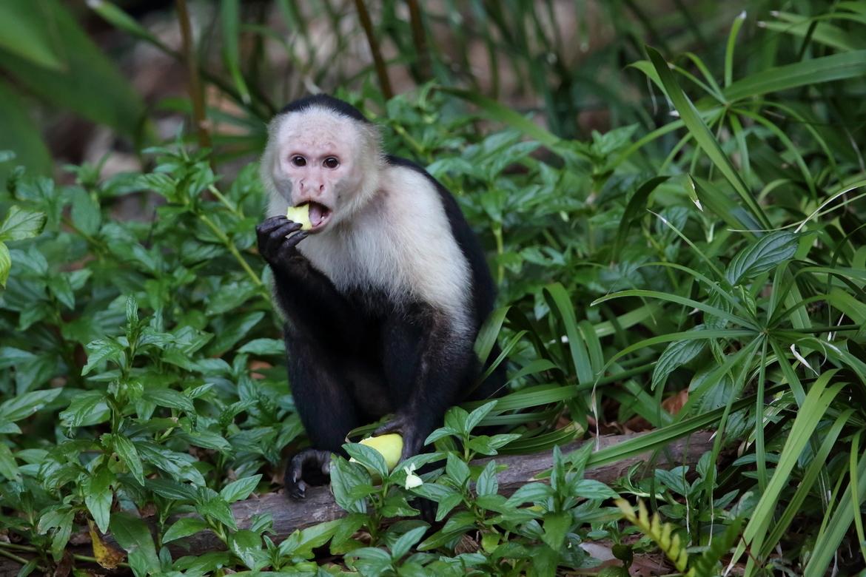White-faced Capuchin Monkey, White-faced Capuchin Monkey photos, monkeys in Panama, Panama wildlife, Coiba National Park, Coiba National Park wildlife