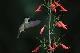 hummingbird, humming bird images, humming bird photos, united states wildlife, united states birds, american hummingbirds, Colorado birds, Colorado wildlife, Chatfield Botantical Garden, Chatfield Botanical Garden birds, Chatfield Botanical Garden photos