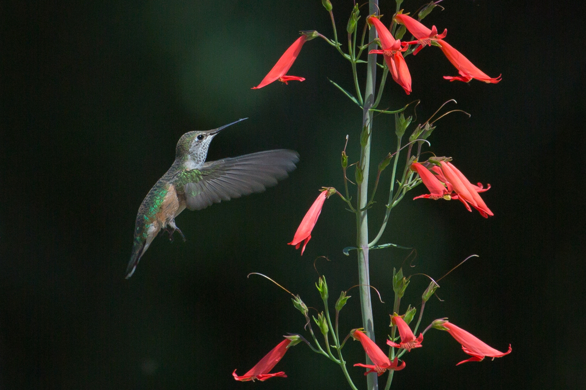 hummingbird, humming bird images, humming bird photos, united states wildlife, united states birds, american hummingbirds, Colorado birds, Colorado wildlife, Chatfield Botantical Garden, Chatfield Botanical Garden birds, Chatfield Botanical Garden photos