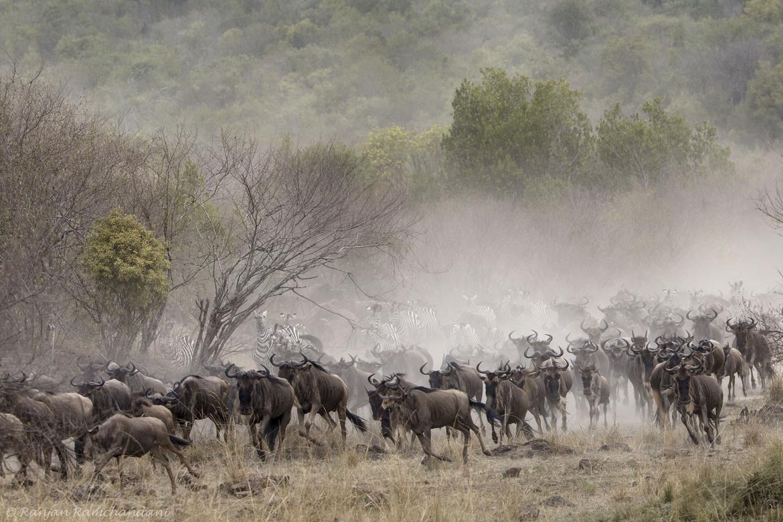 wildebeest, wildebeest photos, wildebeest migration, Kenya migration, Kenya wildlife, Africa migration, Maasai Mara