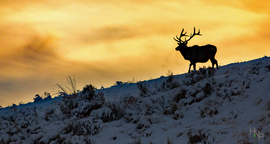 elk, bull elk, elk photos, bull elk photos, Utah wildlife, united states wildlife, Summit County