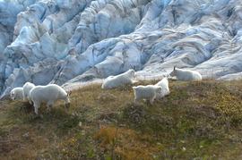 mountain goat, kenai fjords wildlife, mountain goats in alaska, alaska wildlife, kenai fjords wildlife photos, alaska wildlife photos, united states wildlife, united states wildlife photos