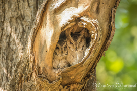 owl, owl photos, scop owl, scop owl photos, India wildlife, India wildlife photos, birds in India, owls in India