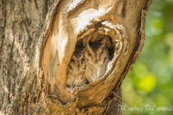 owl, owl photos, scop owl, scop owl photos, India wildlife, India wildlife photos, birds in India, owls in India