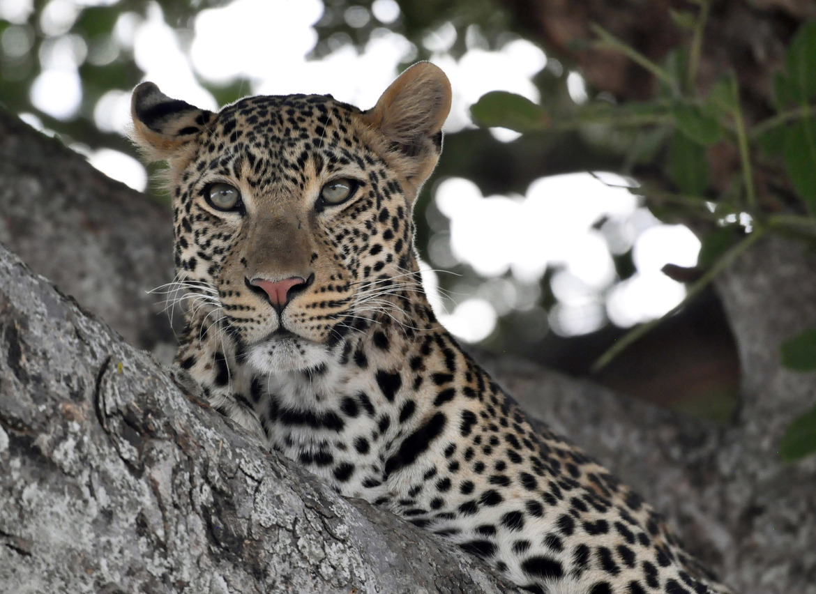 leopard, leopard photos, leopard images, tanzania wildlife, tanzania wildlife photos, tanzania safari, tanzania safari photos, african safari photos, african cats, leopards in africa, leopards in tanzania, Ruaha National Park