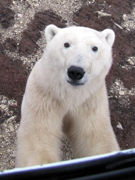 polar bears, churchill, Manitoba, Canada, Polar Bear tours, Arctic