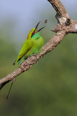 green bee-eater, bee-eater, green-bee eater photos, bee-eater photos, India wildlife, India birding, birds in India, West Bengal, West Bengal wildlife, West Bengal birds